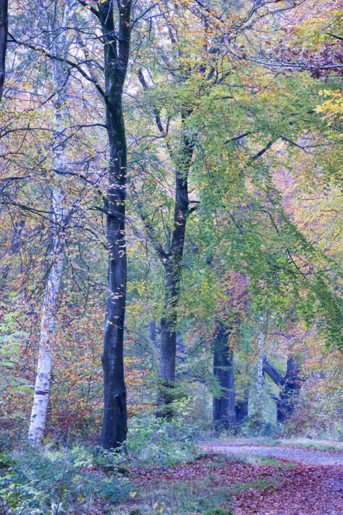 Savernake Forest Wiltshire