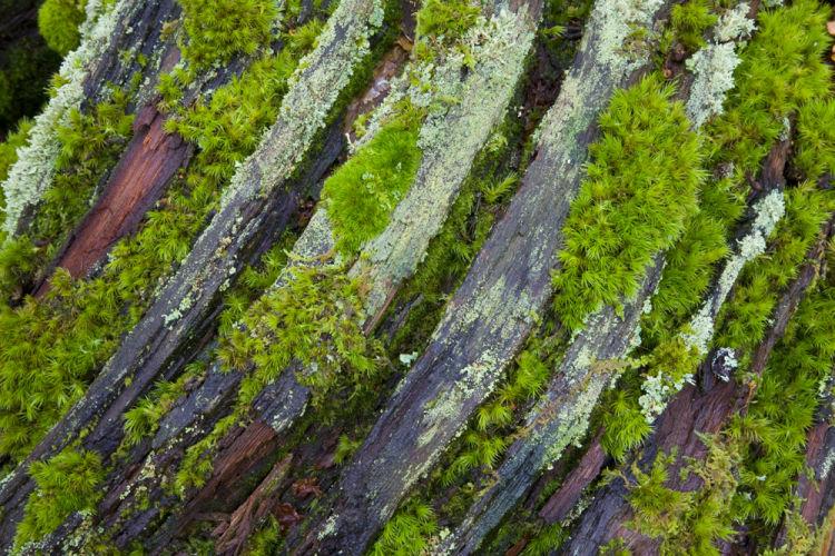 Mosses on fallen Oak tree