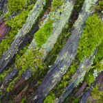 Mosses on fallen Oak tree