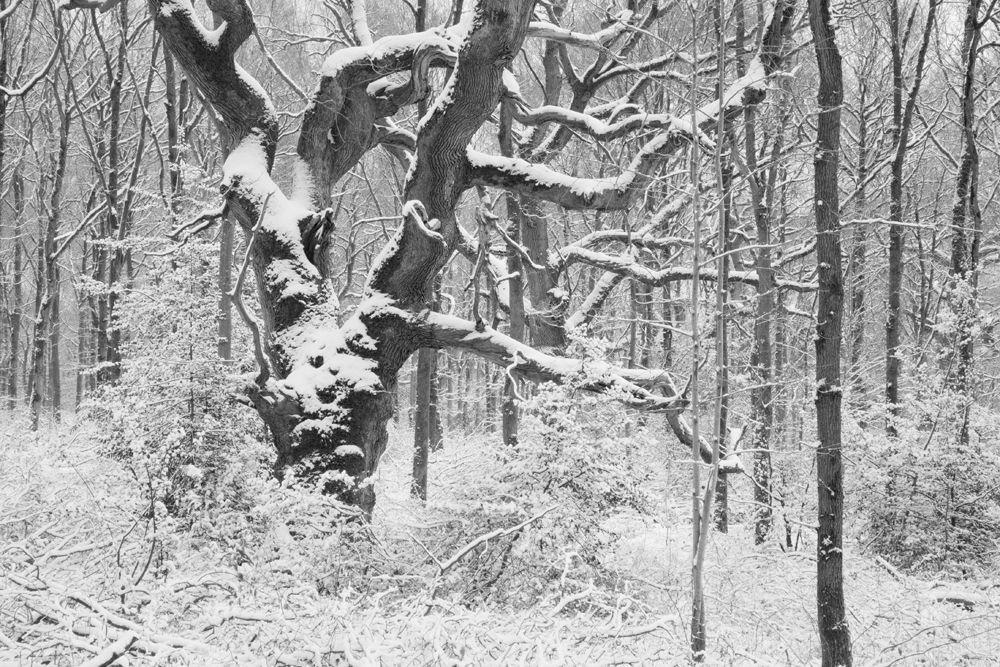 Ancient Oak in snow
