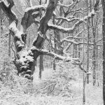 Ancient Oak in snow