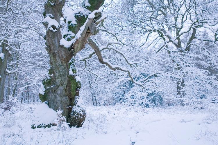 Savernake Forest Winter