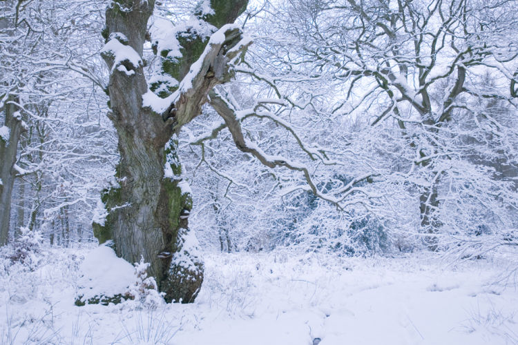 Ancient Oak winter snow