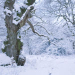 Ancient Oak winter snow