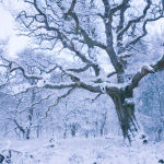 Ancient Oak and winter snow
