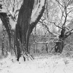Ancient Oaks and snow