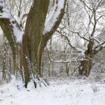 Ancient Oak Trees and snow