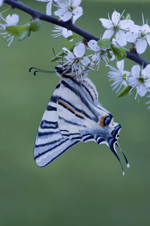 Scarce Swallowtail underside