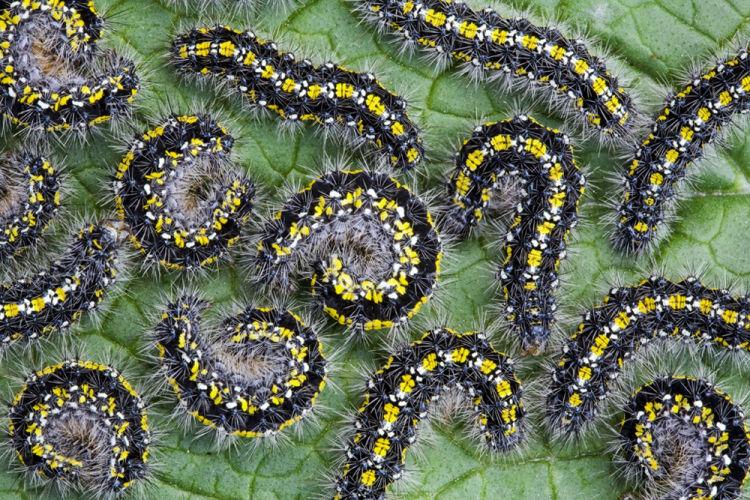 Scarlet tiger moth caterpillars