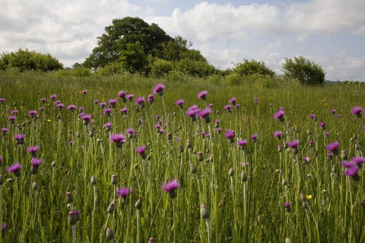 Meadow thistle in neutral meadow