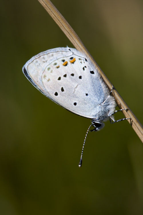 Short tailed blue