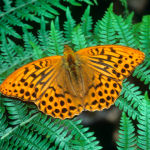 Silver washed fritillary butterfly male