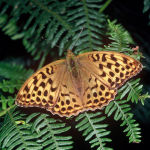 Silver-washed fritillary female
