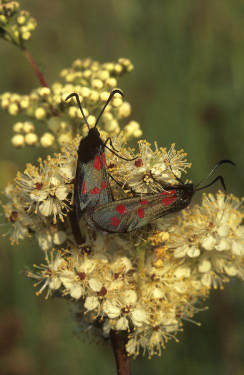 Six-spot burnett moths mating