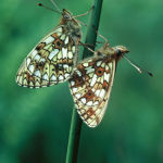 Small pearl-bordered fritillaries mating