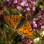Spotted fritillary male