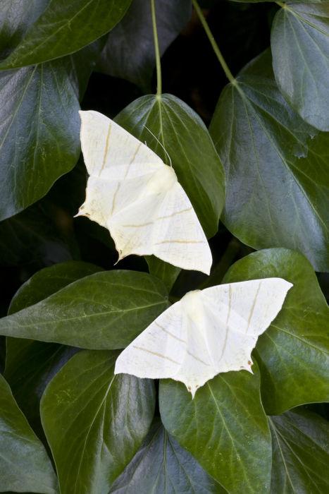 Swallowtail moths