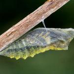 Swallowtail pupa