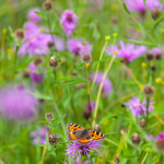 Tortoiseshell and Knapweed