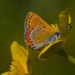 Violet copper