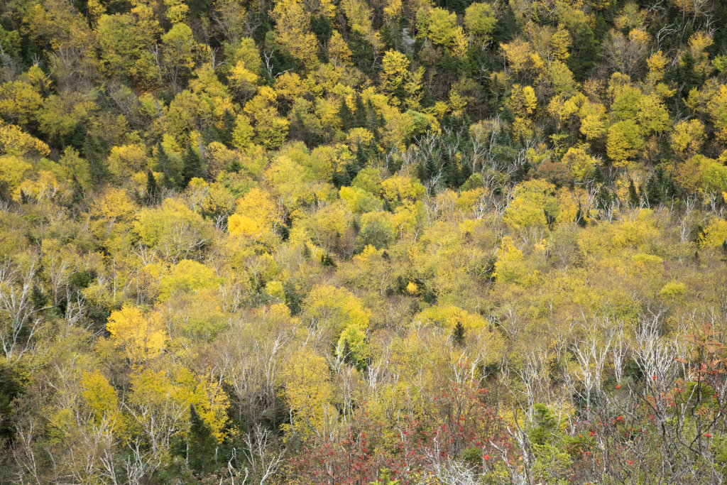 Birch and Rowan New Hampshire USA