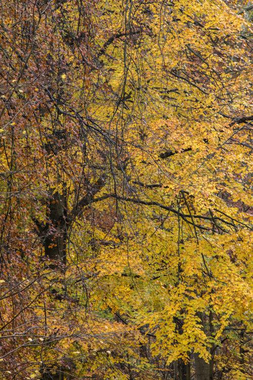 Golden Beech West Woods Wiltshire