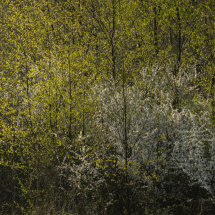 Spring Blackthorn and Birch