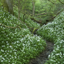 Wild Garlic Lower Woods Gloucestershire