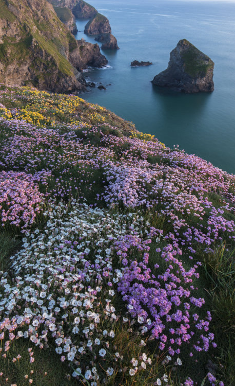 Spring Thrift and Sea Campion Bedruthan Steps Cornwall