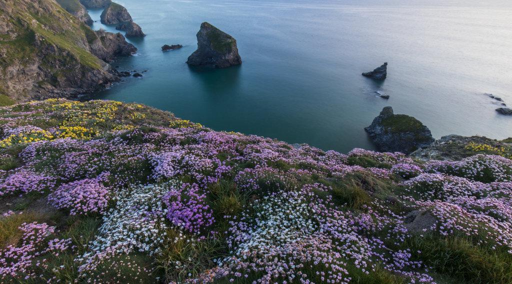 Spring flowers Bedruthan Steps Cornwall