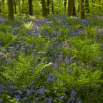 Beech Trees, bluebells and ferns