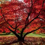 Acer Palmatum Westonbirt