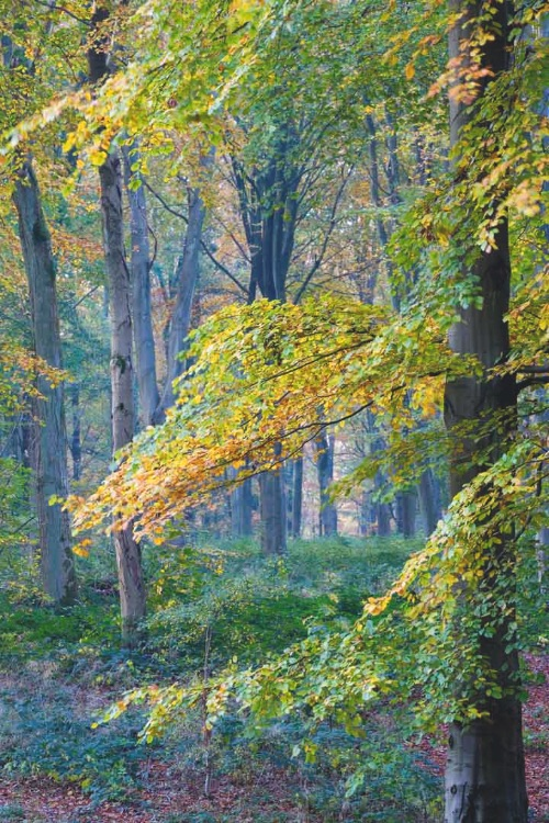 Westwoods Autumn Beeches