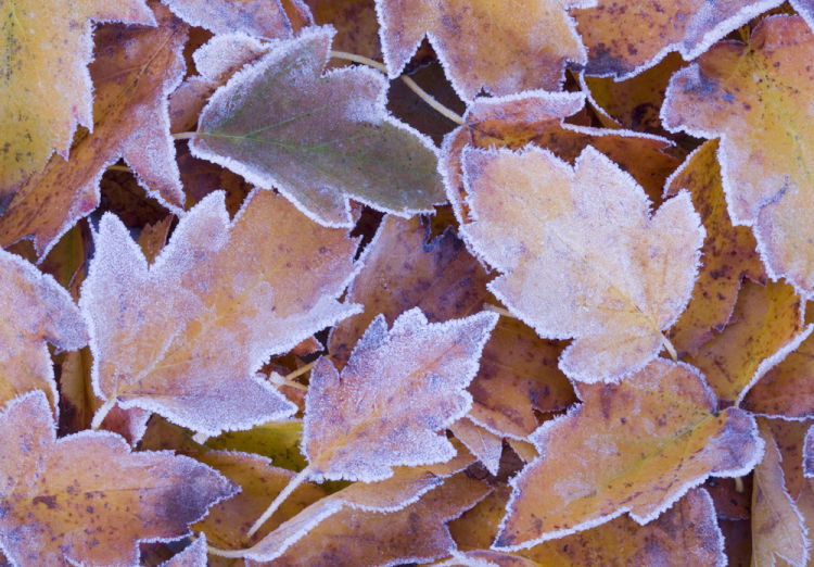 Frosted wild service leaves