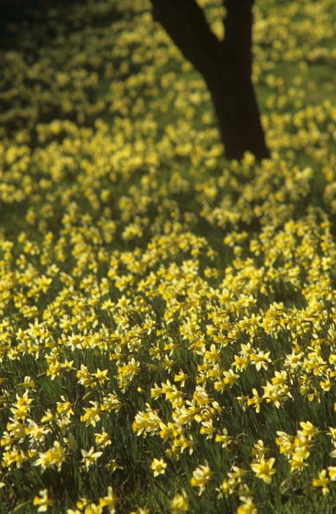 Wild daffodils in orchard