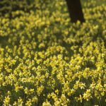 Wild daffodils in orchard