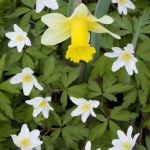 Wood anenomes and wild daffodil
