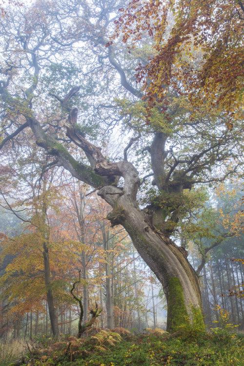 Ancient Oak Savernake Forest