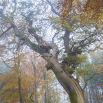 Ancient Oak Savernake Forest