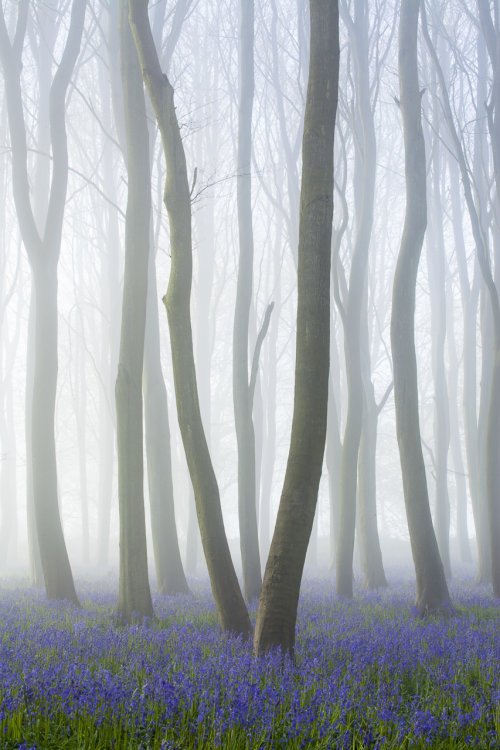 Bluebells and mist Badbury Clump