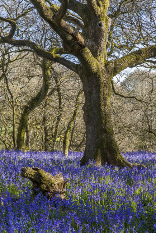 Oak and Bluebells Gopher Wood