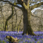 Oak and Bluebells Gopher Wood
