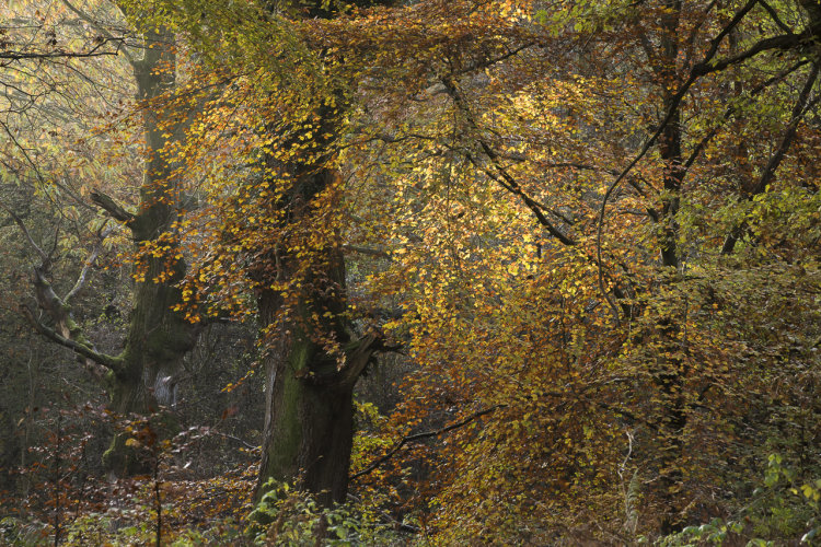 Autumn Oak and Beech