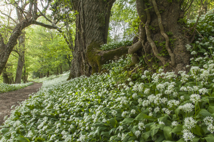 Ancient oaks and Wild Garlic