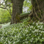 Ancient oaks and Wild Garlic