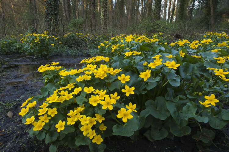 Marsh Marigold in Alder woodland
