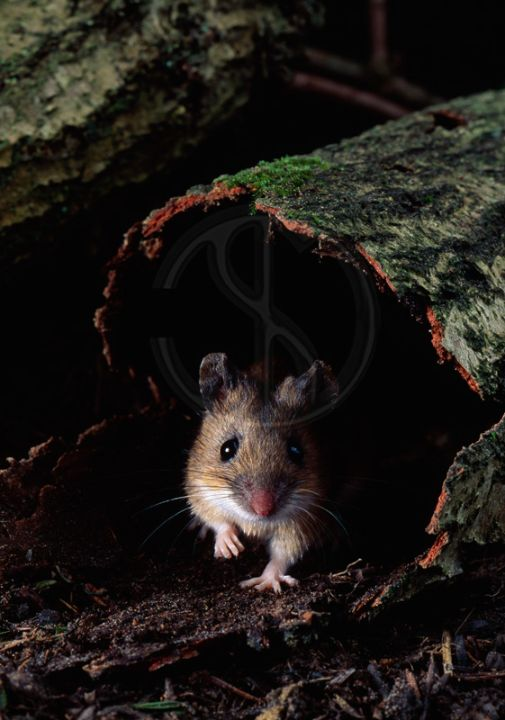 YELOW-NECKED MOUSE