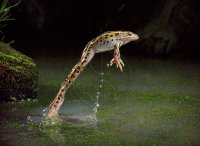 LEAPING LEOPARD FROG