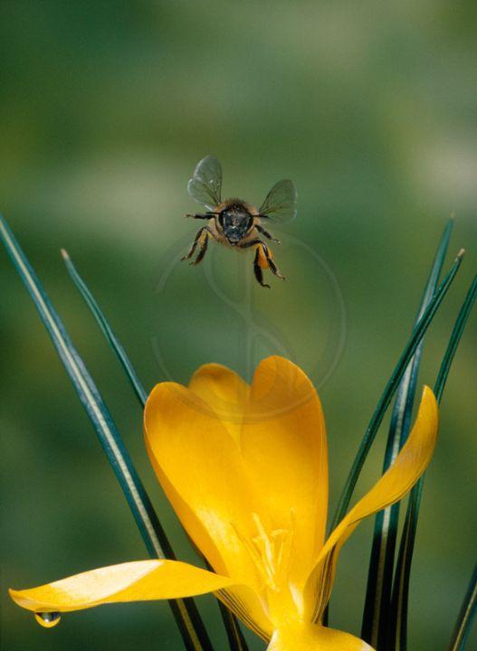 08 Honeybee over Crocus