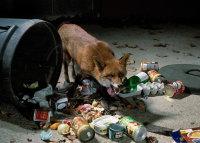 RED FOX raiding dustbin